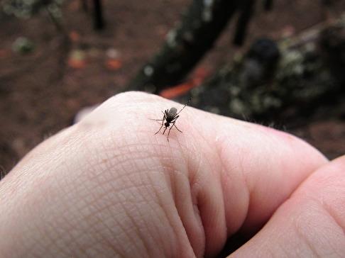 Gillar du myggor?