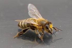 Hjälp till att rädda bina - klicka och läs