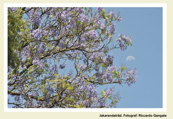 Jakarandaträd i VI-skogen