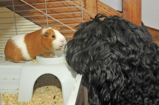 Jabolou the guinea pig - see how she is smiling at Yatzie!