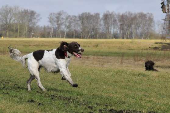 Fladder - a Dutch partridge dog. Superb hunter...
