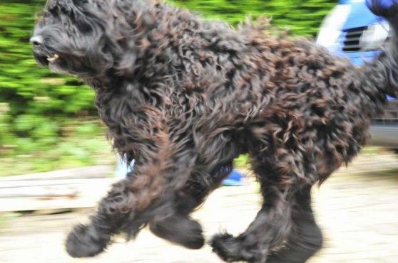 Close-ups of Charleys brown-tinted black wavy fur
