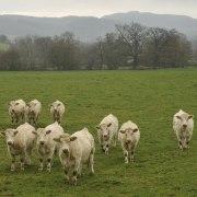 _Curious cows