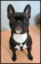 Svea - fransk bulldog