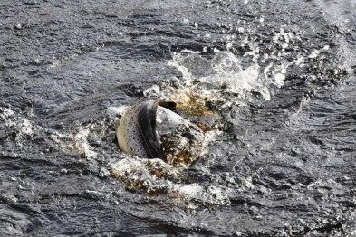 Havsöringen spänner i strömmen