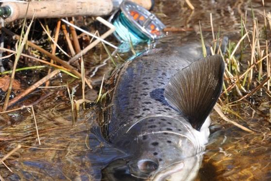 Försökte verkligen men det är svårt att få med hela fisken på bild när den är SÅ STOR (80+)   :-)