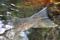 Lax fångad på flugfiskekurs