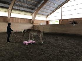 Miljöträning i ridhus inför unghingstrådgivning