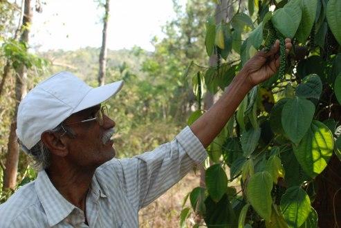 Mr. Pathy har en rad olika frukter, grönsaker och kryddor i sin trädgård. Här är det peppar som ska bli svart genom kokning. Han har också två kor och några höns, plus en halvtam kobraorm ...