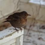 Lasse Lohman_Rar fågel 3