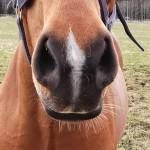 Sophie Hedlund_Häst