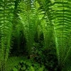 Ormbunkar i bokskogen