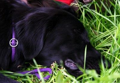 Ace er sliten etter en uke på jaktkurs. :-)