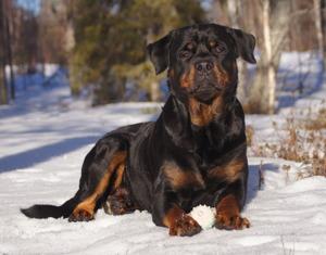 Merlin (bild från vintern 2014)