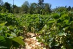 Jordgubbsland som ger riklig skörd för husbehov