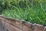 Lök och andra växter stortrivs i de varma uppbyggda odlingsbäddarna