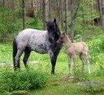 Litfara med sitt första föl hos oss. Móri från Hvidagården som numera är en mycket rolig ridhäst!