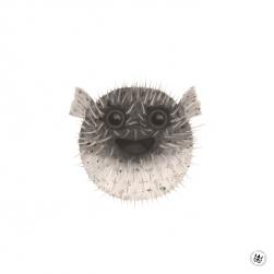 Blåsfisk