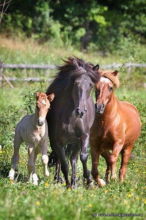Töfrun från Ammor, mamma Támyrja från Ammor och mormorsmor Kenning frá Árbakka, foto: Emma Jansson.