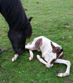 En helt nyfödd Álfheiður. Ett stort TACK till Anita och Johnny Gliving för toppen proffessionell fölningsövervakning! Foto Anita Gliving