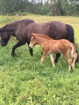 Heiðir från Ammor 12 dagar gammal med mamma Mynta.