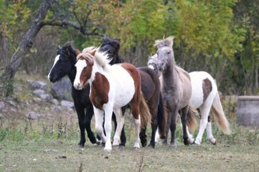 I mitten min Alfurdotter Álfheiður från Ammor. Här tillsammans med sina busiga kompisar.