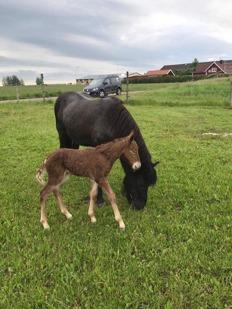 Álfaþór från Ammor med mamma Mynta från Bergshill. På bilden bara någon timme gammal. Foto Marcus Ljungqvist.