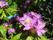 Rododendron med en gäst