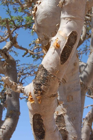 Frankincense Tree (Source: Wikimedia Commons)