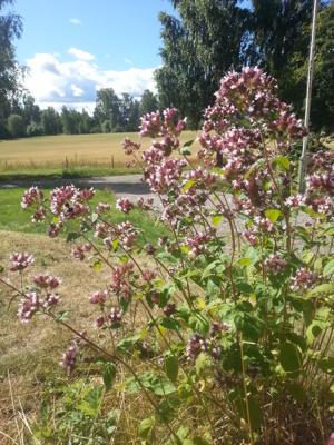 Blommande oregano i Fjällskäfte