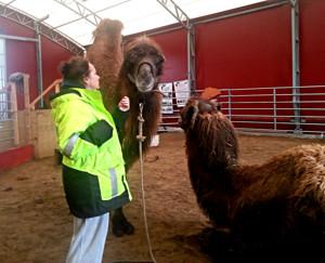 Max och Moore på Myckleby kamelfarm, Orust