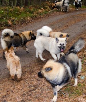 Bilden är på några ur A-kullen på deras valpträff Leah, Nirvana, Aurora, Zoe och Simba