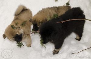 Gott och äta på björnbärsbusken.