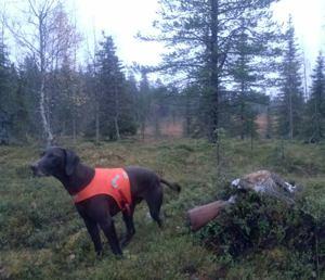 Jagr ordnar tjäderhöna i regnig skog.