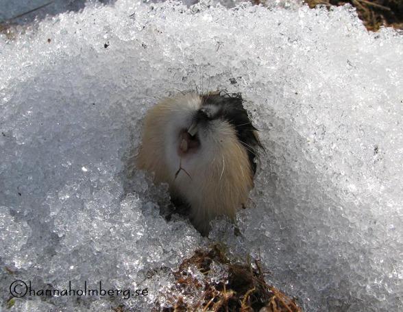 Fjället kryllade av lämmel. Svårt för hundarna, men det bådar gott för ripstammen.  Foto: Hanna Holmberg,
