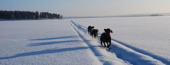 Fullt ös på isen...