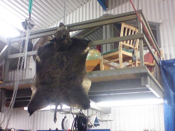 """Tillsvidare får skinnet pryda garaget. Huvudet är """"puffat"""" dvs inte uppstoppat men ändå i sin naturliga form."""