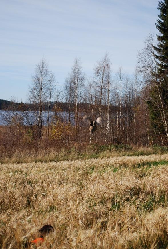 Jagr får fart på en fasanhöna...