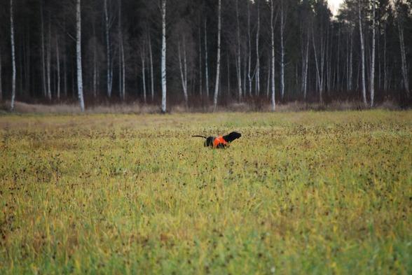 Jagr på fältsök...på hemmaplan.