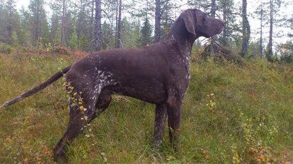 2x2 ÖKL på jaktprov i Arvidsjaursskogarna för Lynx, samt Cert på utställning i Överkalix!