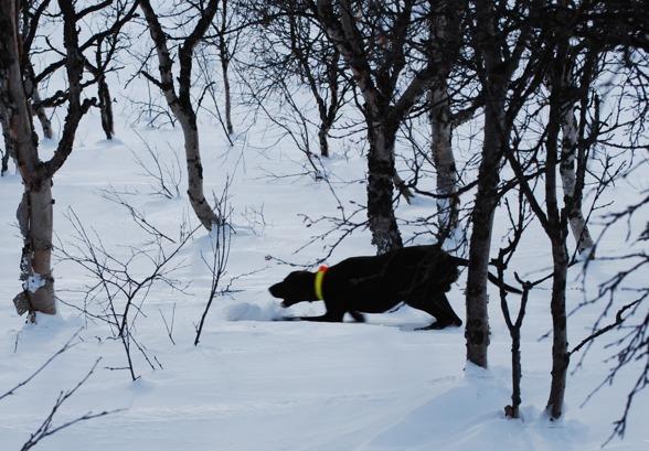Jagr får apportkommando, och tar bra fart...