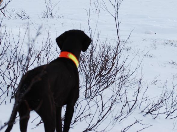 Jagr på vinterjakt...