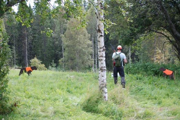 Simulerad skogsjakt - två bruna vorstrar står...vanlig bild!