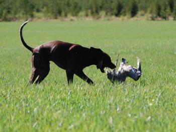 ...hunden tramsar med viltet - agera!