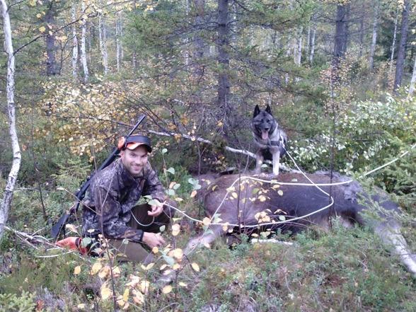 Lyckat eftersök på älgko som gick undan flera km. Vorstehn fick då lämna över till kompisens gråhund...