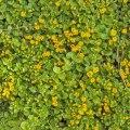 Penningblad Lysimacia nummularia