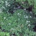 koreansk plym spirea Arunucus aethusifolius
