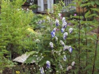 Tvåfärgad stormhatt Aconitum x cammarum Bicolor