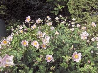 Höstannemon anemone x hybrida