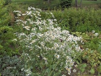 Balsamblad Tanacetum balsamita